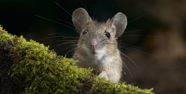 Cara membasmi mengusir tikus dengan mudah
