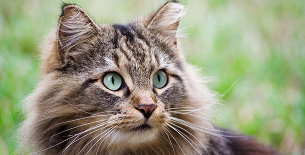 Merawat-kucing-hamil
